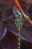 Grey Dragonfly — Stock Photo