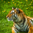 Tiger Looking Away — Stock Photo