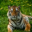 Regal Tiger — Stock Photo