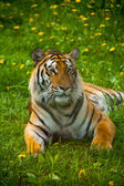 Tiger Looking Past — Stock Photo