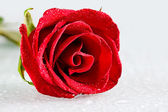 Fresh rose — Stock Photo