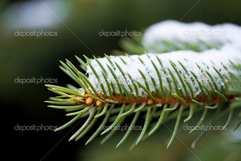 Photo of evergreen pine branch covered with snow in winter — Stock Photo #11024796