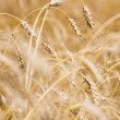 Golden crops — Foto de Stock