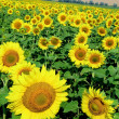 Vibrant sunflowers - Stock Photo