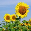 King of sunflowers — Stock Photo #11147915