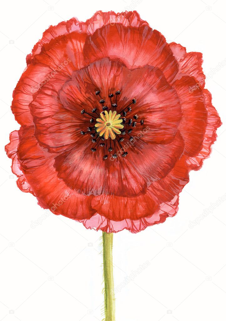 Creative image of red poppy on green stalk isolated over white background — Stock Photo #11148974