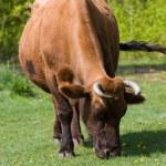 Grazing cow — Stock Photo