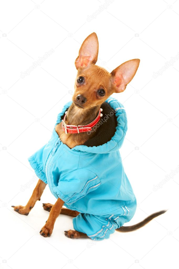 Close-up of small Chinuahua dog in blue clothing — Stock Photo #11217135