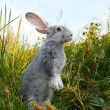 Stock Photo: Cautious hare