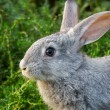 Stock Photo: Grey rabbit