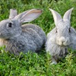 Stock Photo: Rabbits in grass