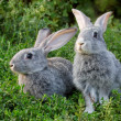 Couple of rabbits — Stock Photo #11238948