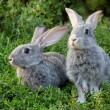 Stock Photo: Couple of rabbits
