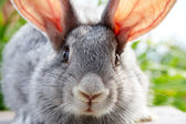 Rabbit muzzle — Stock Photo