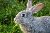 Grey rabbit — Stock Photo