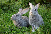 Couple of rabbits — Stock Photo