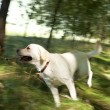 Running dog — Stock Photo