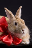 Rabbit with bow — Stock Photo