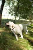 Çalışan köpek — Stok fotoğraf