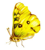 Yellow lepidoptera — Stock Photo
