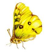 žlutá lepidoptera — Stock fotografie