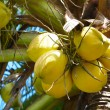 Coconuts on palmtree — Stock Photo