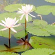 Water lilies - Foto Stock