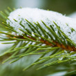 Pine branch — Stock Photo #11583767