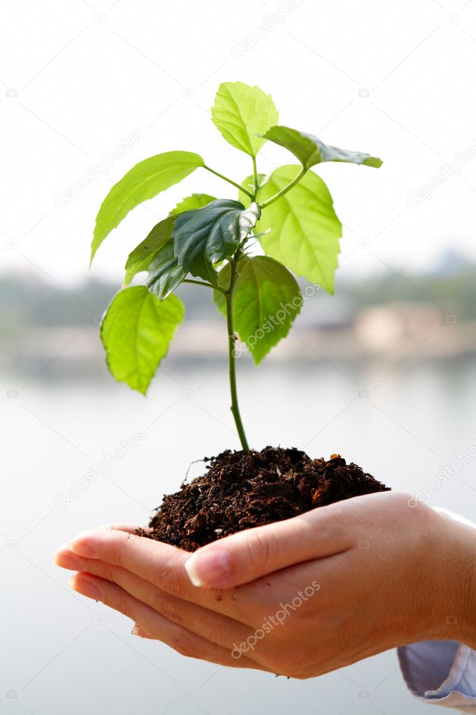 Close-up of fresh branch with leaves in soil held by a human  Stock Photo #11583621