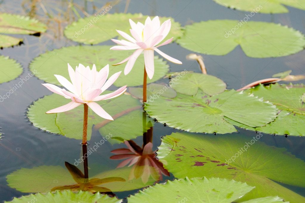 Image of beautiful water lilies with their leaves underneath — Stock Photo #11583764