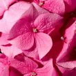 Pink geranium — Stock Photo #11664244