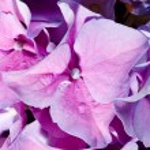 Lilac geranium — Stock Photo