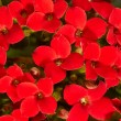 Red geranium - Foto Stock