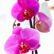 Violet orchids — Stock Photo