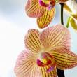 Beautiful yellow orchids — Stock Photo