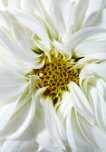 White aster — Stock Photo