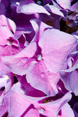 Lilac geranium — Stock Photo