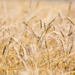 Field of wheat - Foto Stock