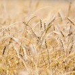 Field of wheat - Stockfoto