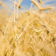 Stock Photo: Golden harvest