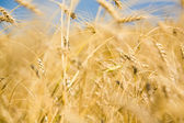 Golden harvest — Stock Photo