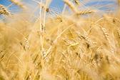 Golden harvest — Stock Photo
