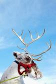 鹿 — 图库照片