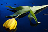 Tulip and water drops — Stock Photo