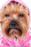 Sad glance of a yorkshire terrier in pink hood — Stock Photo