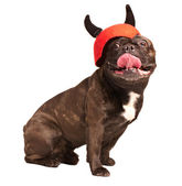 Cunning french bulldog in a helmet with horning — Stock Photo