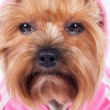 Stock Photo: Sad glance of yorkshire terrier in pink hood