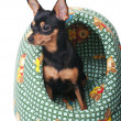 A russian toy terrier — Stock Photo #12155379