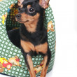 A russian toy terrier — Stock Photo
