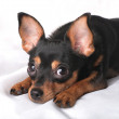 A russian toy terrier — Stock Photo #12155390
